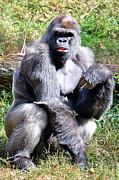 Gorilla Print by Kathleen K Parker