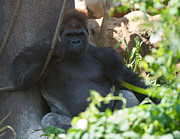African Saint Prints - Gorilla King Print by Chris  Brewington Photography LLC