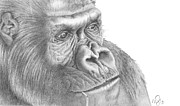 Primate Drawings - Gorilla by Michael McIntee