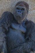 Garry Gay - Gorilla  Portrait