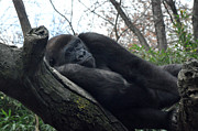 Diane Lent - Gorilla resting on a log