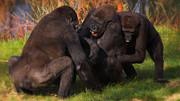 Nick  Biemans - Gorillas having fun together