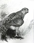 Grayscale Drawings - Goshawk Gaze by Cara Bevan