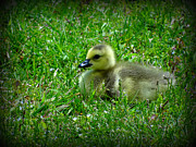 Crystal Joy Photography - Gosling