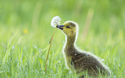 Baby Bird Prints - Gosling with Dandelion Print by Mircea Costina Photography