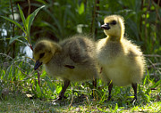 Canada Goose Art - Goslings 5 by Sharon  Talson