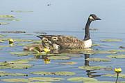 Andrea Kollo - Goslings Life at the Marsh