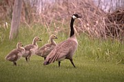 Goslings Framed Prints - Goslings On A Walk Framed Print by Jeff  Swan