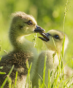Baby Bird Prints - Goslings portrait Print by Mircea Costina Photography