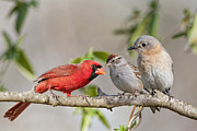 Chipping Sparrow Prints - Gossip Session Print by Bonnie Barry