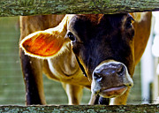 Appleton Prints - Got Milk? Print by Kimberly Nyce