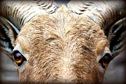 Ram Horn Art - Got My Eyes On You by Susie Weaver