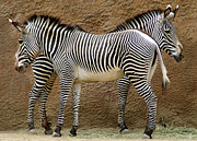 Zebra Framed Prints - Got Your Back Framed Print by Dan Holm