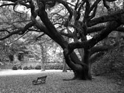 Gothic Trees Prints - Gothic Surreal Black and White South Carolina Angel Oak Trees Park Landscape Print by Kathy Fornal