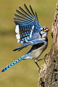 Bluejay Photo Framed Prints - Gotta Go Framed Print by Bill  Wakeley