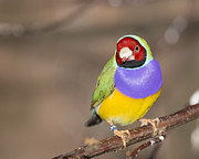Gerald Murray Photography - Gouldian Finch