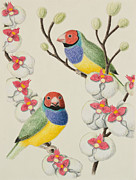 Finch Drawings - Gouldian Finch by Jeanette K