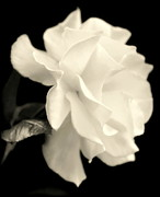 White Petals Prints - GRACE of CREATION Print by Karen Wiles