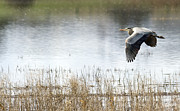 Heron Photos - Graceful Flight by Rebecca Cozart