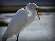Crystal Joy Photography - Graceful Great Egret