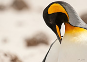 Penguins Prints - Graceful King Print by Nancy Jones