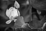 Pink Lotus Prints - Graceful Lotus. Balck and White. Pamplemousses Botanical Garden. Mauritius Print by Jenny Rainbow
