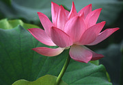 Lotus Leaves Prints - Graceful lotus Print by Elvira Butler