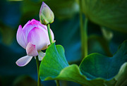 Photographic Art Photo Posters - Graceful Lotus. Pamplemousses Botanical Garden. Mauritius Poster by Jenny Rainbow
