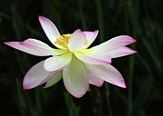 White Water Lily Posters - Graceful Lotus Poster by Sabrina L Ryan