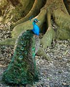 Sabrina L Ryan - Graceful Peacock
