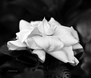 Gardenia Photos - Graceful Soft and Sweet by Michelle Wiarda