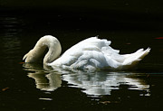 Graceful Swan Curves Print by Margaret Saheed