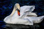 White Swan Photos - Graceful Swan in the Blue Water by Jenny Rainbow