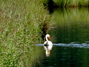 Bottomlands Photo Prints - Graceful Swan Print by Lizbeth Bostrom
