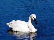Water Bird Photos - Graceful Swan by Rebecca Cozart