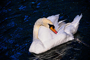 Jenny Rainbow - Graceful Swan Resting in the Blue Water