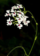 Sabrina L Ryan - Graceful White Orchids
