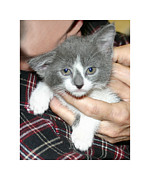 Kitten Prints Photo Posters - Gracie as a kitten Poster by Jack Pumphrey