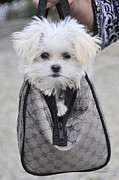 Maltese Puppy Photos - Gracie Hangin Out by Kenny Francis