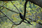 Common Grackle Posters - Grackle among the leaves Poster by Kathy Gibbons