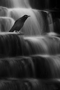Common Grackle Posters - Grackle Falls Poster by Ron Jones