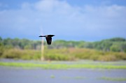 Grackle In Flight Print by Bonfire Photography