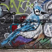 Graffiti Bluejay Print by Carol Leigh