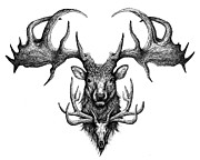 Elk Drawings - Grahams Ghost by Danielle Trudeau