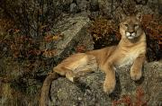 Predating Framed Prints - Grambo Mm-00003-302, Adult Male Cougar Framed Print by Rebecca Grambo