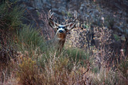 Great Outdoors Photos - Grand Canyon Deer by Aidan Moran