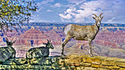 Long Horn Digital Art Posters - Grand Canyon Long Horn  Poster by Howard Bell