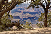 Western Trees Framed Prints - Grand Canyon through the trees Framed Print by Jane Rix