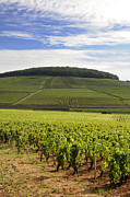 Grape Vine Photos - Grand cru and premier cru vineyards of Aloxe Corton. Cote de Beaune. Burgundy. France. Europe. by Bernard Jaubert