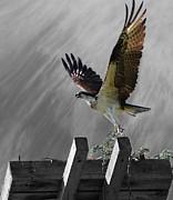 Grand Ole Osprey Print by Davandra Cribbie